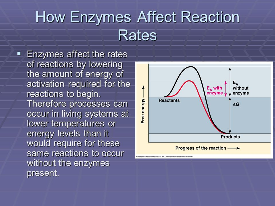 How Enzymes Affect Reaction Rates  Enzymes affect the rates of reactions by lowering the amount of energy of activation required for the reactions to