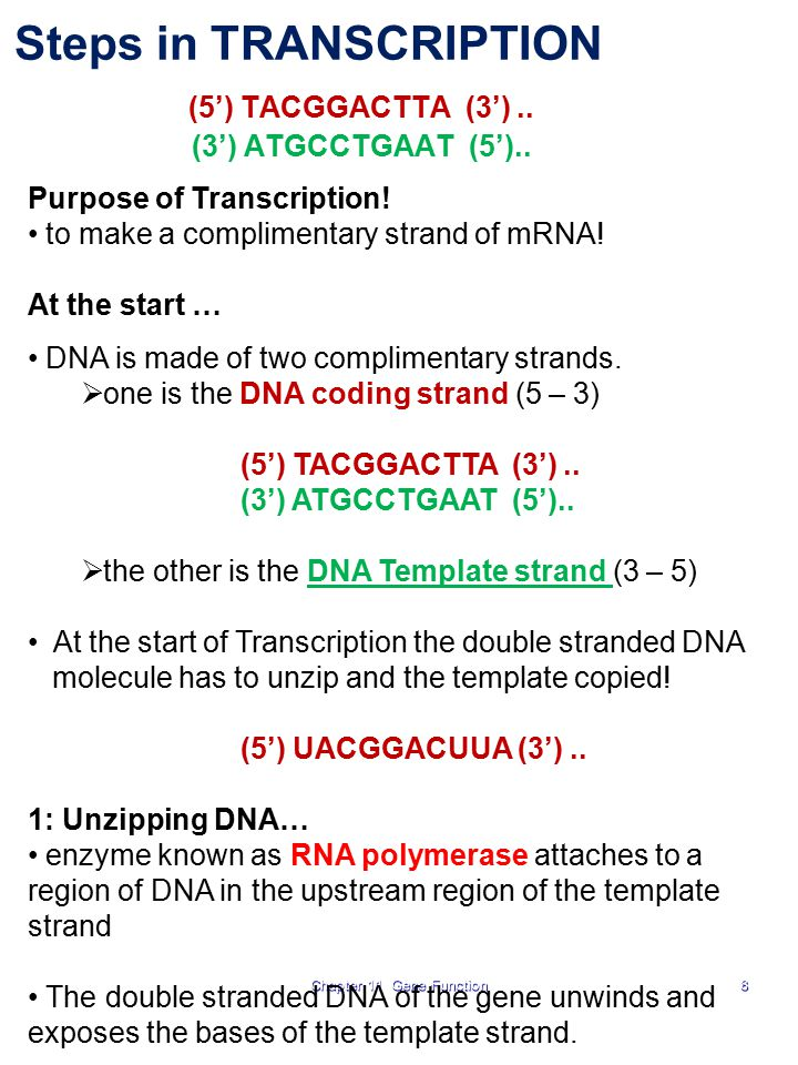 8 Steps in TRANSCRIPTION (5') TACGGACTTA (3').. (3') ATGCCTGAAT (5').. Purpose of Transcription! to make a complimentary strand of mRNA! At the start