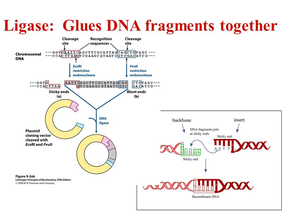 Ligase: Glues DNA fragments together