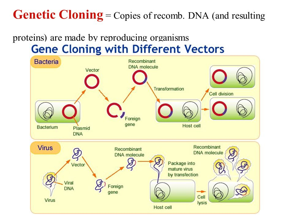 Genetic Cloning = Copies of recomb. DNA (and resulting proteins) are made by reproducing organisms