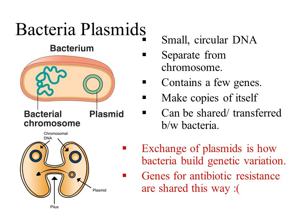 Bacteria Plasmids  Small, circular DNA  Separate from chromosome.  Contains a few genes.  Make copies of itself  Can be shared/ transferred b/w b