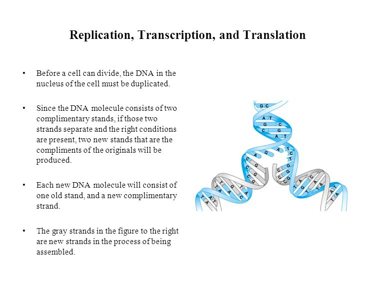 Replication, Transcription, and Translation Before a cell can divide, the DNA in the nucleus of the cell must be duplicated.