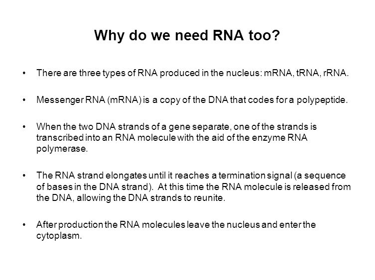 Why do we need RNA too. There are three types of RNA produced in the nucleus: mRNA, tRNA, rRNA.