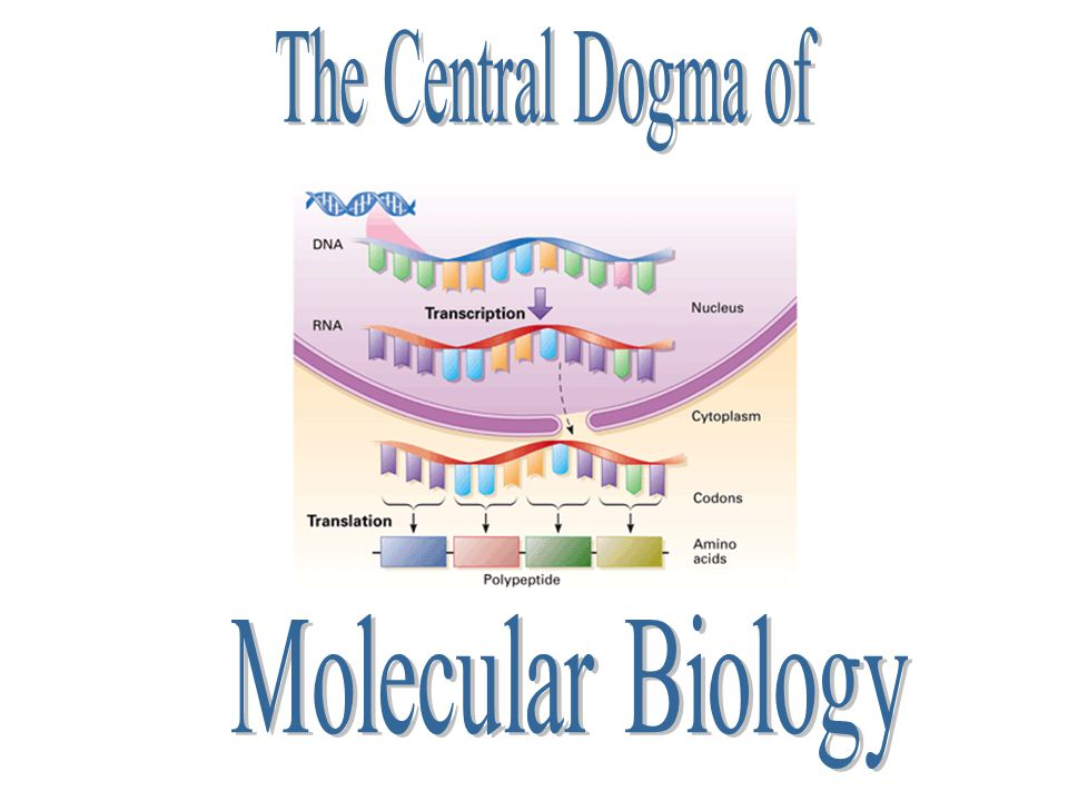 Describes the flow of genetic information from DNA to RNA to Proteins DNA Replication Transcription Translation