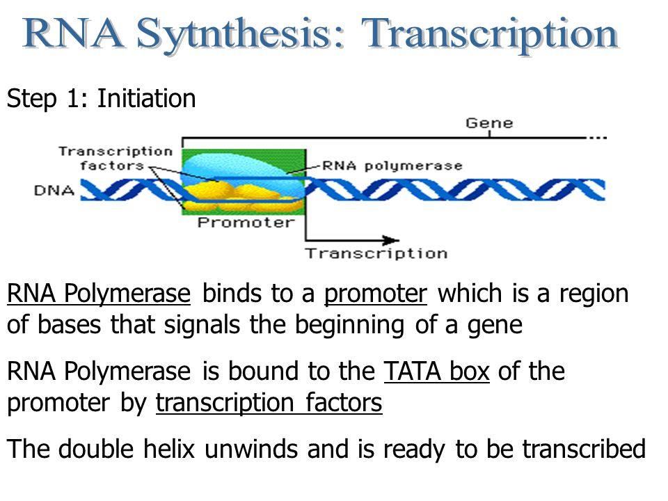 Step 1: Initiation RNA Polymerase binds to a promoter which is a region of bases that signals the beginning of a gene RNA Polymerase is bound to the T