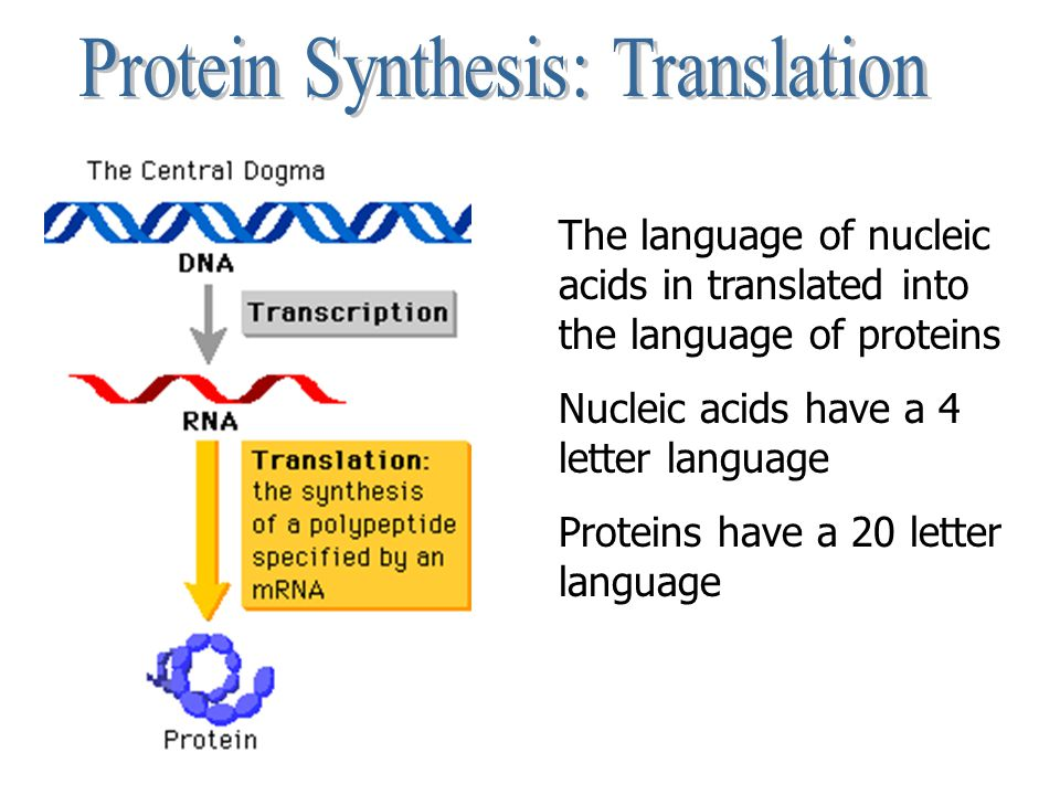 The language of nucleic acids in translated into the language of proteins Nucleic acids have a 4 letter language Proteins have a 20 letter language