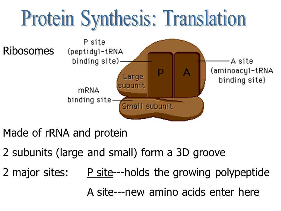 Ribosomes Made of rRNA and protein 2 subunits (large and small) form a 3D groove 2 major sites: P site---holds the growing polypeptide A site---new am