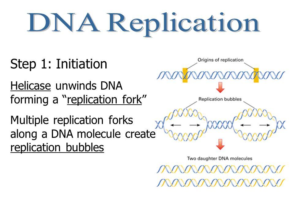 The Players Messenger RNA (mRNA) Ribosomes Transfer RNA (tRNA) Amino Acids