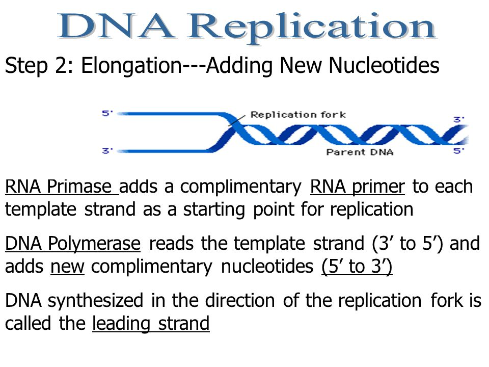 DNA polymerase can only add new nucleotides in the 5' to 3' direction Because of the antiparallel nature of DNA, replication occurs in two directions An RNA primer is laid down on the other strand, and new nucleotides are added 5' to 3' moving away from the replication fork.