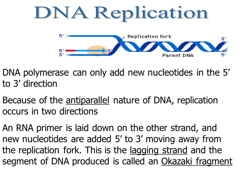 The DNA unwinds some more and the leading strand is extended by DNA polymerase adding more DNA nucleotides.