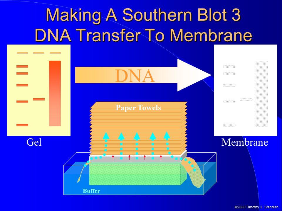©2000 Timothy G. Standish Membrane Making A Southern Blot 3 DNA Transfer To Membrane DNA Gel Buffer Gel Membrane Paper Towels