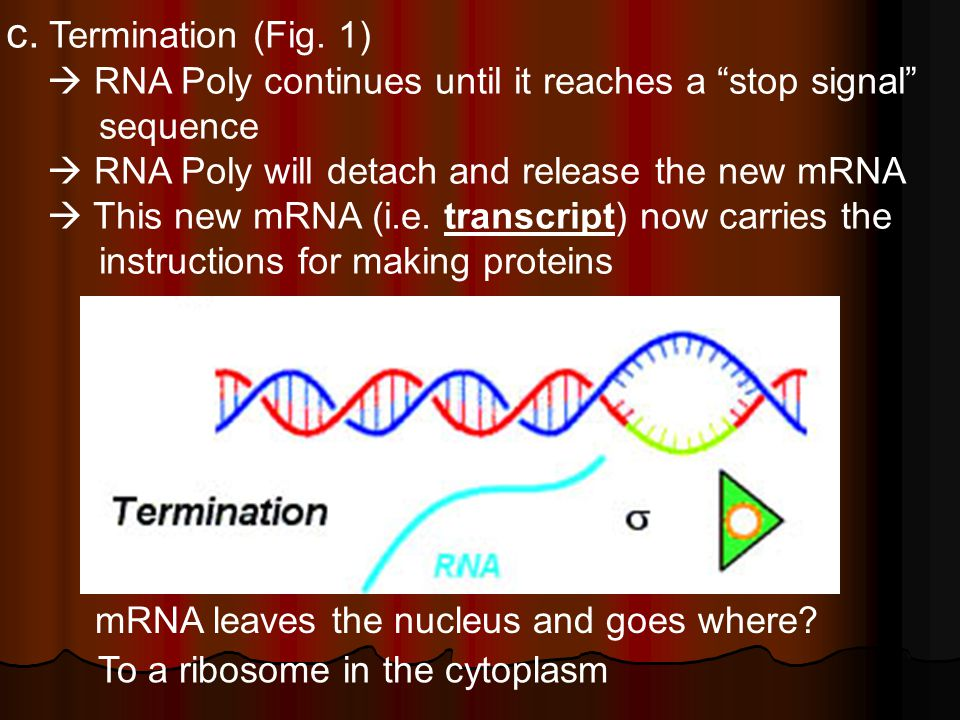 """c. Termination (Fig. 1)  RNA Poly continues until it reaches a """"stop signal"""" sequence  RNA Poly will detach and release the new mRNA  This new mRNA"""