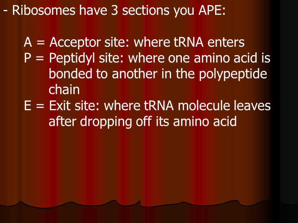 - Ribosomes have 3 sections you APE: A = Acceptor site: where tRNA enters P = Peptidyl site: where one amino acid is bonded to another in the polypeptide chain E = Exit site: where tRNA molecule leaves after dropping off its amino acid