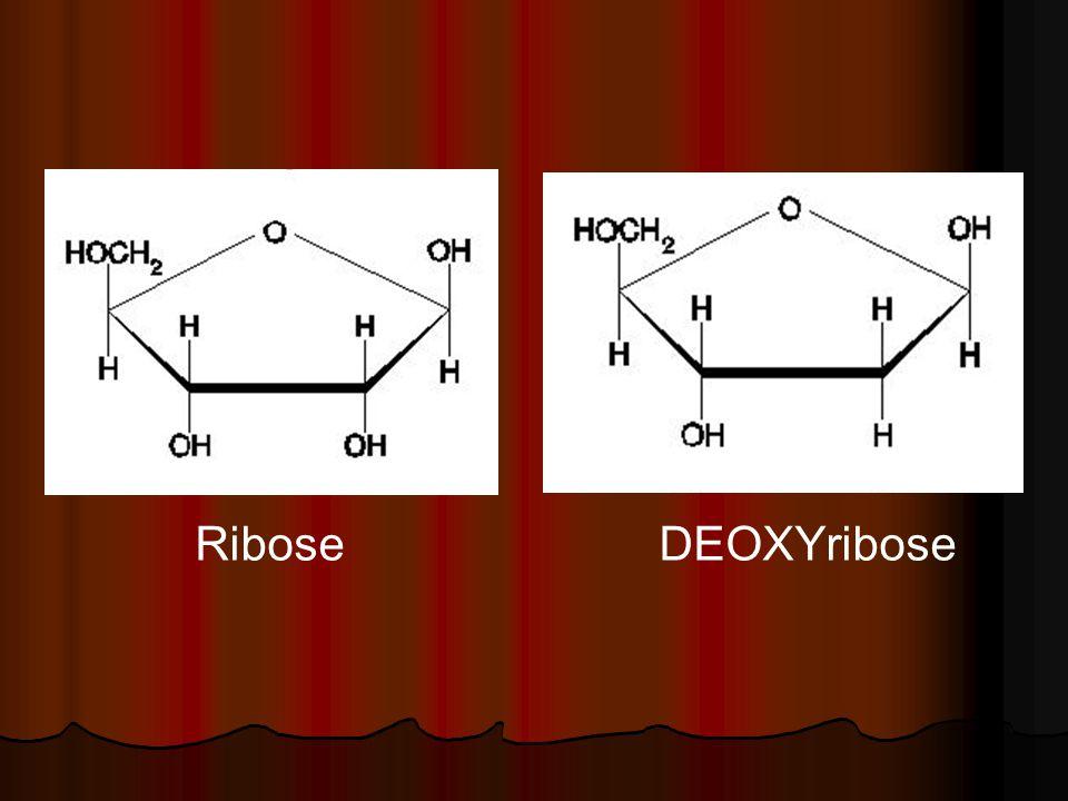 Ribose DEOXYribose