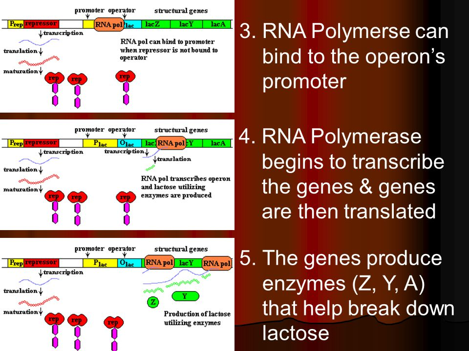3. RNA Polymerse can bind to the operon's promoter 4.