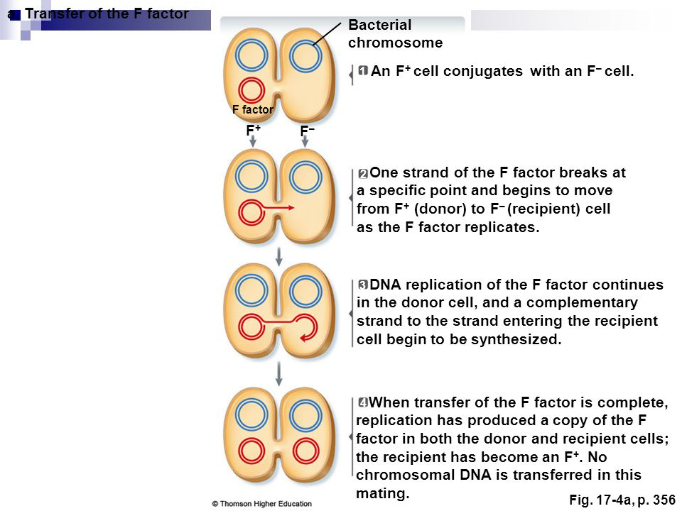 Fig. 17-4a, p. 356 Bacterial chromosome a. Transfer of the F factor F factor 1 F+F+ F–F– One strand of the F factor breaks at a specific point and beg