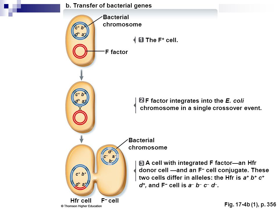 Fig.17-4b (1), p. 356 The F + cell. F factor integrates into the E.