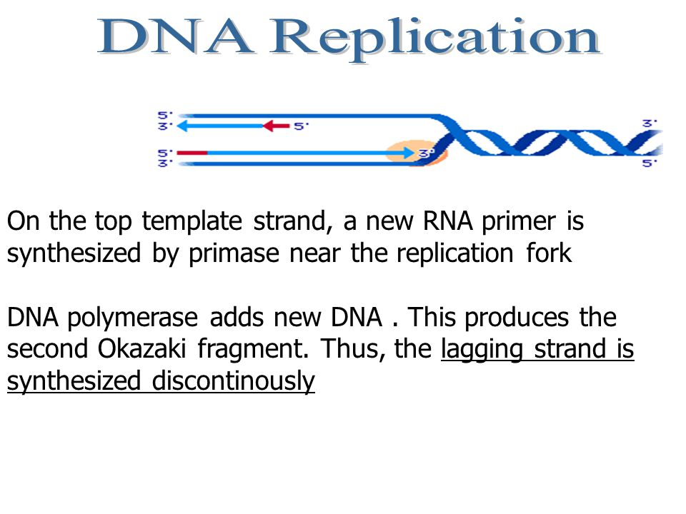 On the top template strand, a new RNA primer is synthesized by primase near the replication fork DNA polymerase adds new DNA.