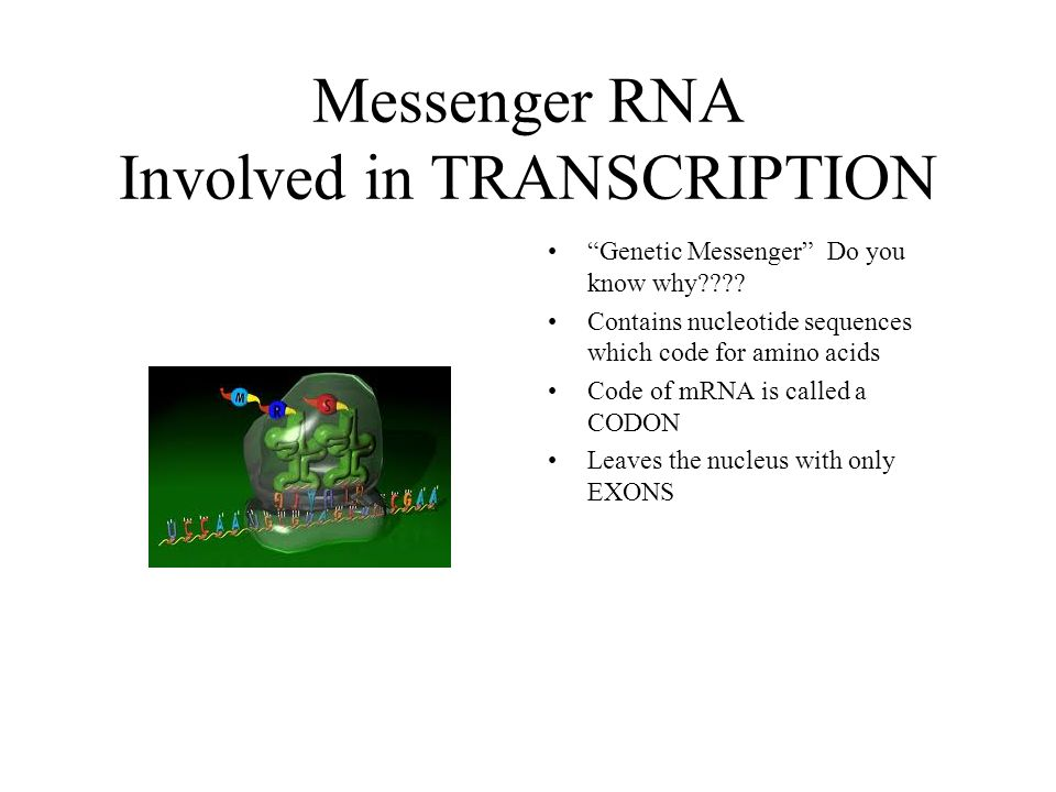 Messenger RNA Involved in TRANSCRIPTION Genetic Messenger Do you know why???.