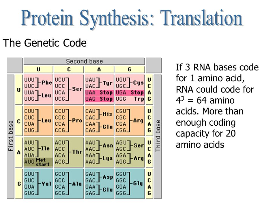 The Genetic Code If 3 RNA bases code for 1 amino acid, RNA could code for 4 3 = 64 amino acids.