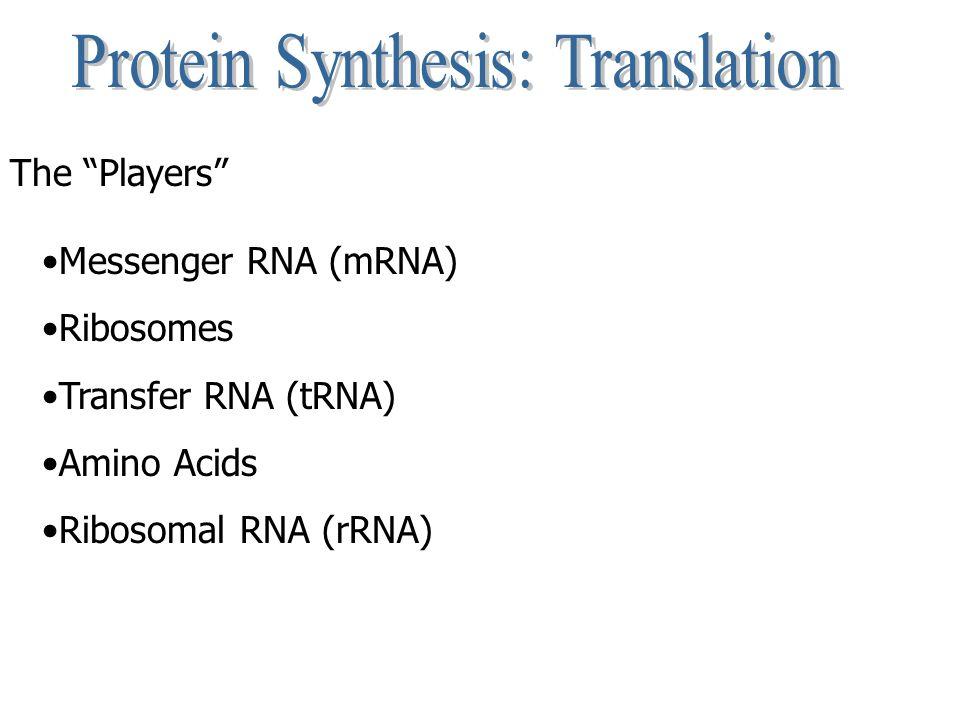 """The """"Players"""" Messenger RNA (mRNA) Ribosomes Transfer RNA (tRNA) Amino Acids Ribosomal RNA (rRNA)"""