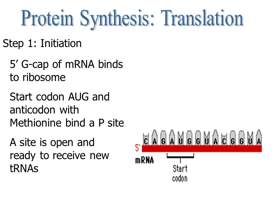 Step 1: Initiation 5' G-cap of mRNA binds to ribosome Start codon AUG and anticodon with Methionine bind a P site A site is open and ready to receive new tRNAs