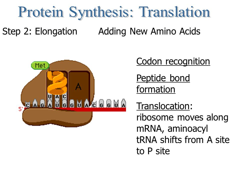 Step 2: Elongation Adding New Amino Acids Codon recognition Peptide bond formation Translocation: ribosome moves along mRNA, aminoacyl tRNA shifts from A site to P site