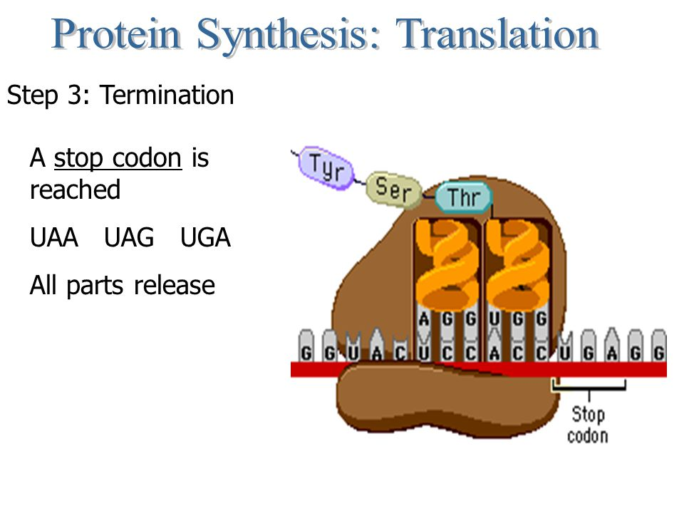 Step 3: Termination A stop codon is reached UAA UAG UGA All parts release