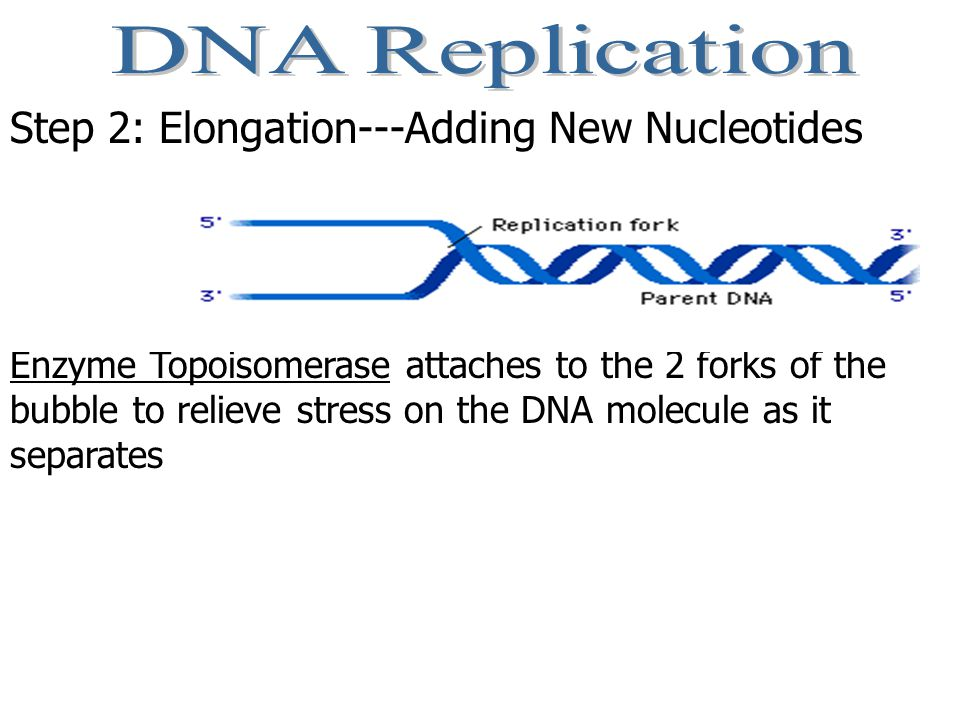 Step 2: Elongation---Adding New Nucleotides Enzyme Topoisomerase attaches to the 2 forks of the bubble to relieve stress on the DNA molecule as it separates