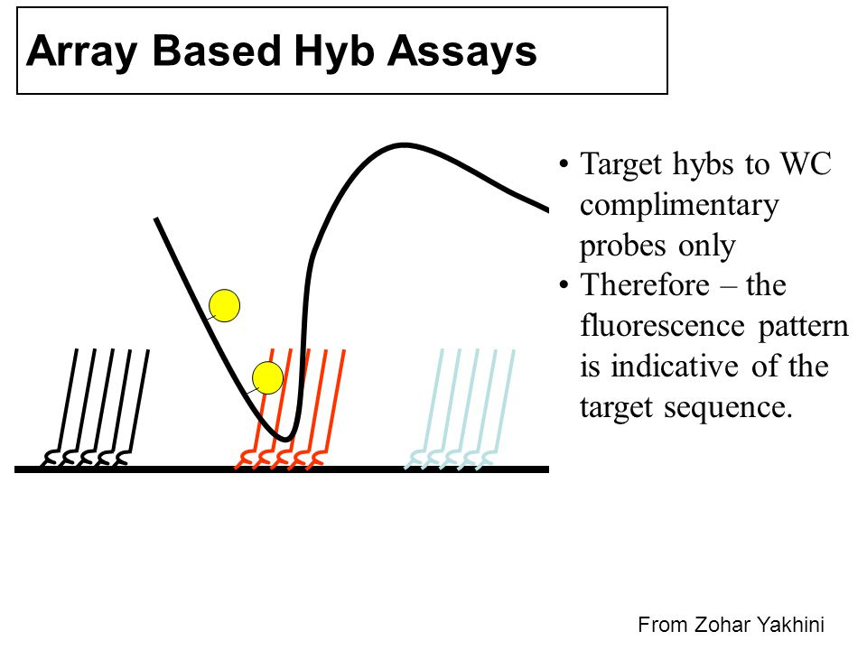 Array Based Hyb Assays Target hybs to WC complimentary probes only Therefore – the fluorescence pattern is indicative of the target sequence.