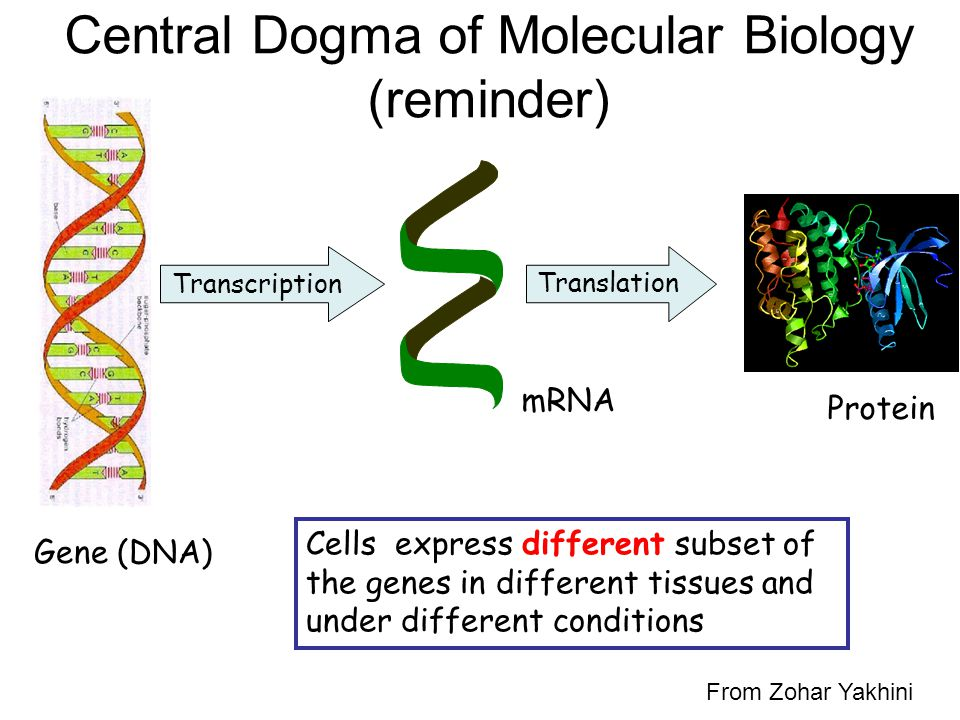 Central Dogma of Molecular Biology (reminder) Transcription mRNA Cells express different subset of the genes in different tissues and under different conditions Gene (DNA) Translation Protein From Zohar Yakhini
