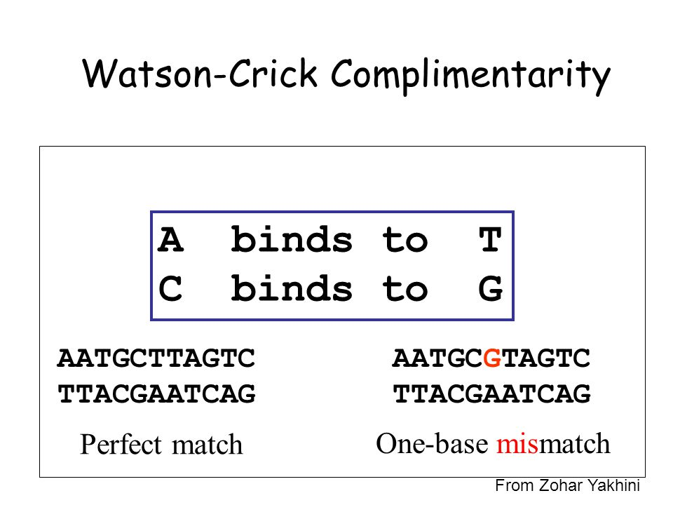 Watson-Crick Complimentarity A binds to T C binds to G AATGCTTAGTC TTACGAATCAG Perfect match AATGCGTAGTC TTACGAATCAG One-base mismatch From Zohar Yakhini