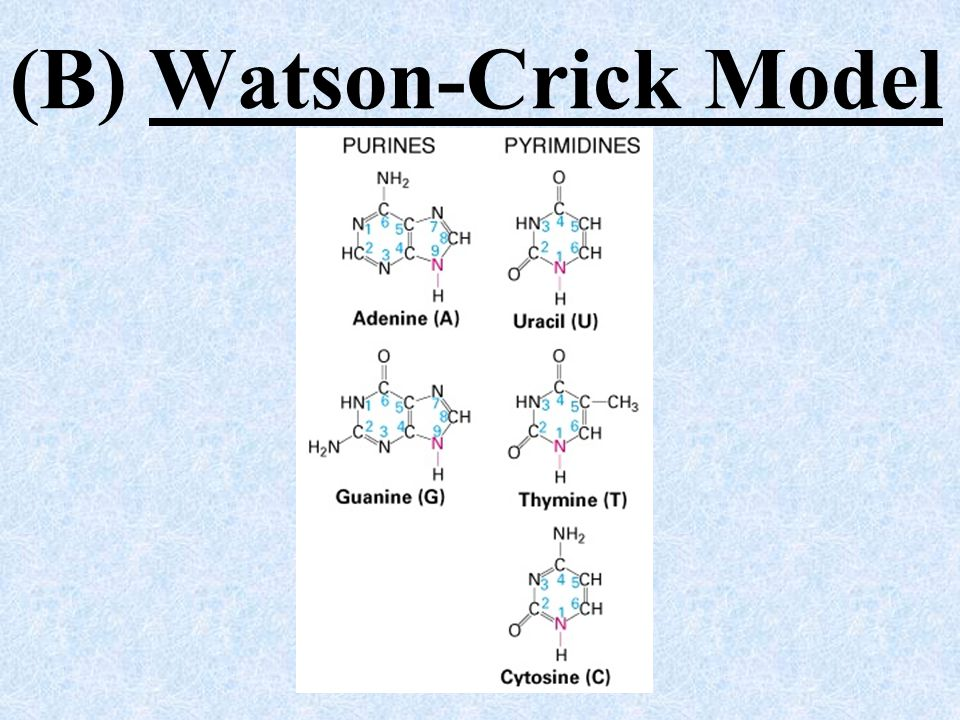 (B) Watson-Crick Model For RNA: Uracil (U) with thymine (T) cytosine (C) with guanine (G)