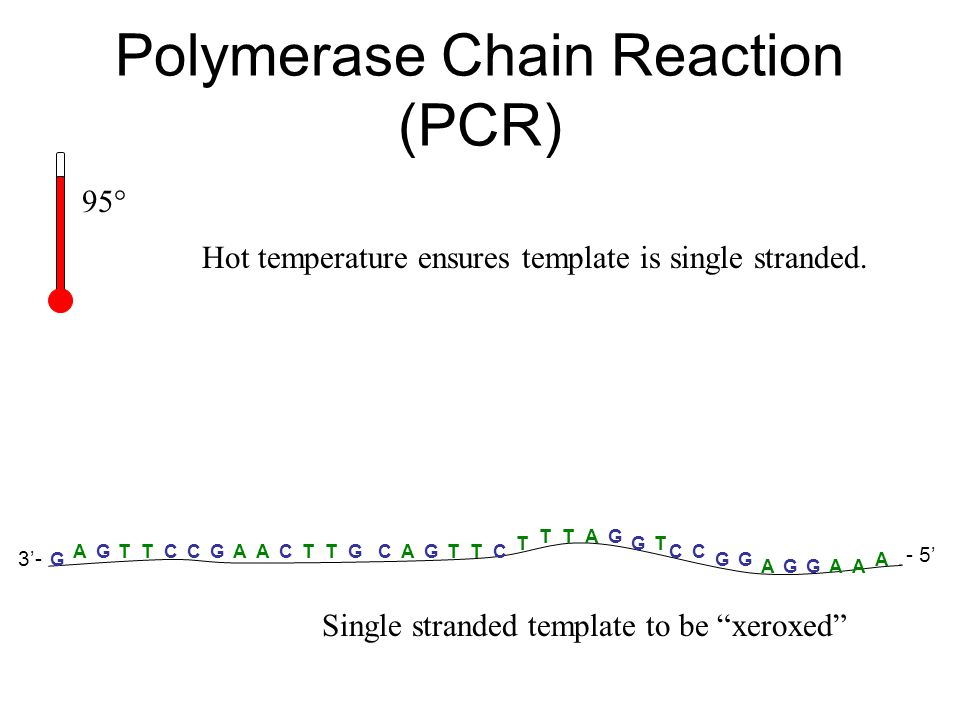 Polymerase Chain Reaction (PCR) A A AAAA G GGGG G T TTTTCCCCCCC TT T TT G GG G G A AA - 5' 3'- Single stranded template to be xeroxed 95° Hot temperature ensures template is single stranded.