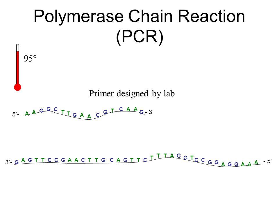 A T ACG A G GC T T A G CAA G 5'- - 3' A A AAAA G GGGG G T TTTTCCCCCCC TT T TT G GG G G A AA - 5' 3'- Primer designed by lab Polymerase Chain Reaction
