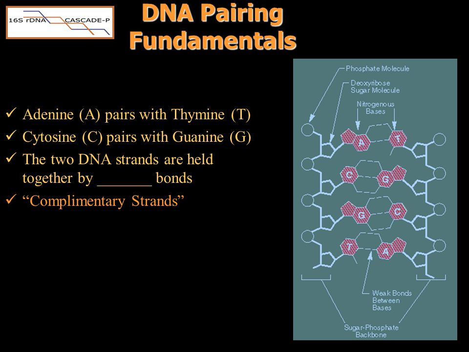 DNA Pairing Fundamentals Adenine (A) pairs with Thymine (T) Cytosine (C) pairs with Guanine (G) The two DNA strands are held together by _______ bonds Complimentary Strands