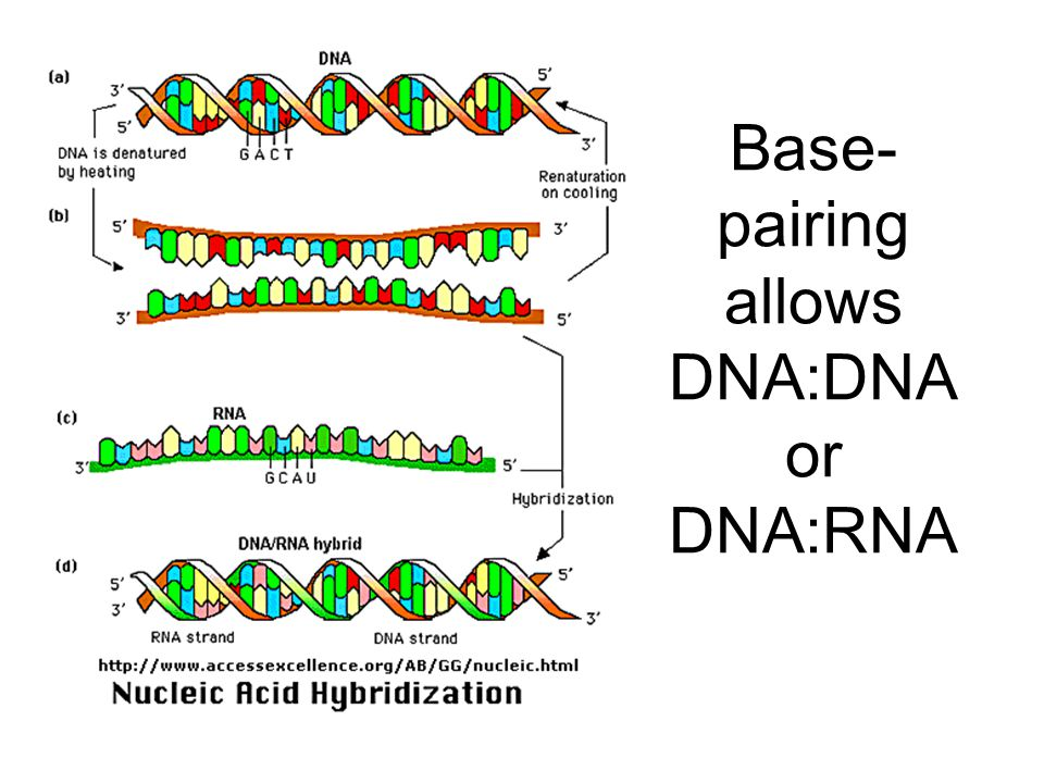 Base- pairing allows DNA:DNA or DNA:RNA