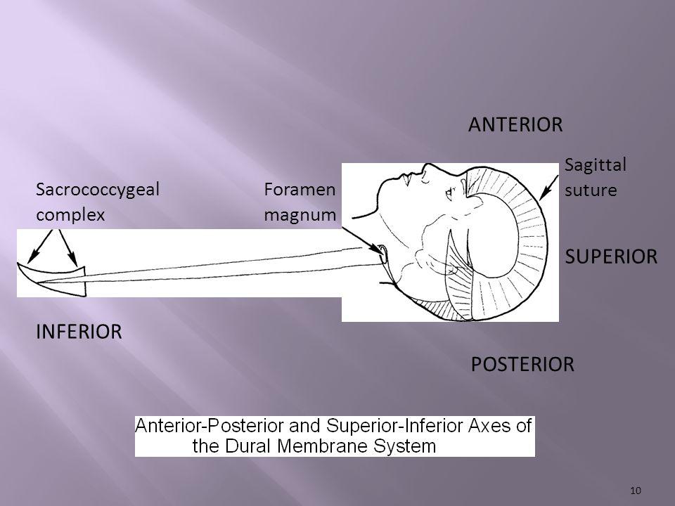 ANTERIOR Sacrococcygeal complex INFERIOR POSTERIOR SUPERIOR Sagittal suture Foramen magnum 10
