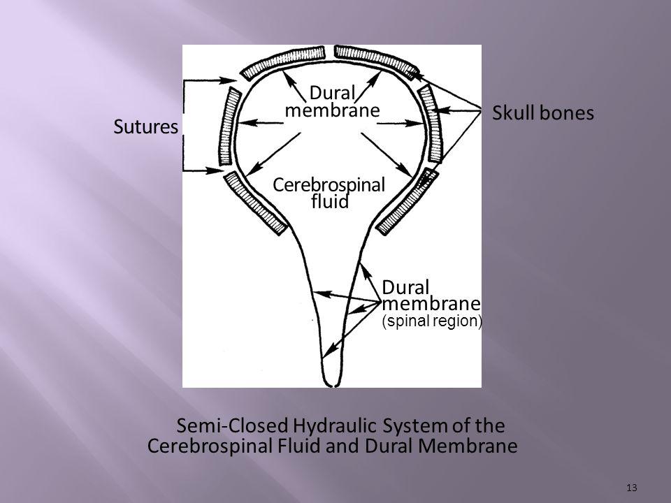 Skull bones Sutures Cerebrospinal fluid Dural membrane (spinal region) Semi-Closed Hydraulic System of the Cerebrospinal Fluid and Dural Membrane Dural membrane 13