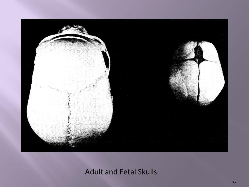 Adult and Fetal Skulls 25