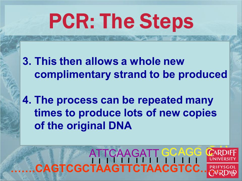 …….CAGTCGCTAAGTTCTAACGTCC…… ATTCAAGATTG G G A CG C A G G PCR: The Steps 3. This then allows a whole new complimentary strand to be produced 4. The pro