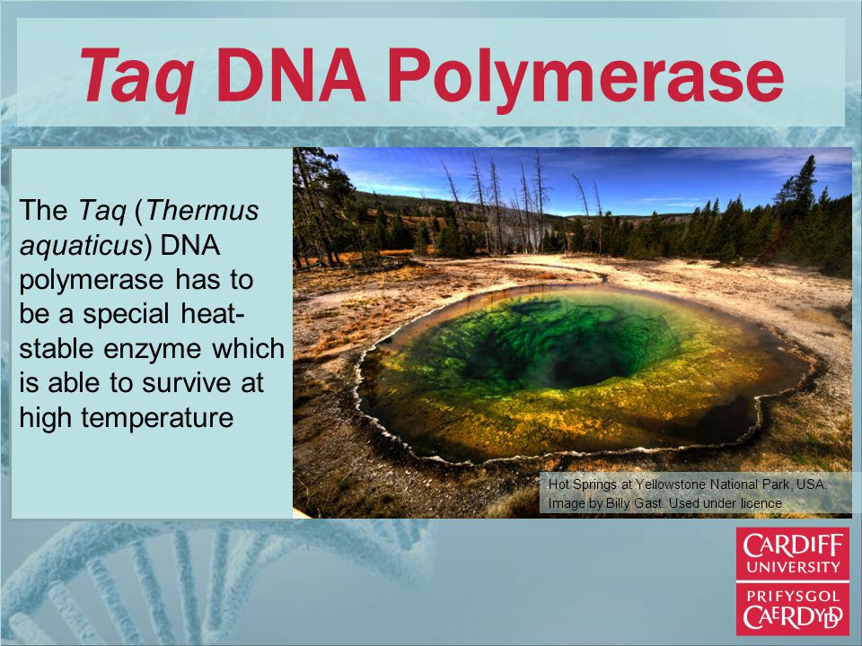 Taq DNA Polymerase The Taq (Thermus aquaticus) DNA polymerase has to be a special heat- stable enzyme which is able to survive at high temperature Hot Springs at Yellowstone National Park, USA.