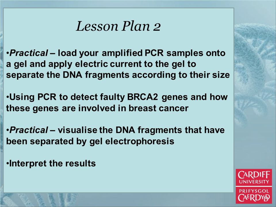 Lesson Plan 2 Practical – load your amplified PCR samples onto a gel and apply electric current to the gel to separate the DNA fragments according to their size Using PCR to detect faulty BRCA2 genes and how these genes are involved in breast cancer Practical – visualise the DNA fragments that have been separated by gel electrophoresis Interpret the results