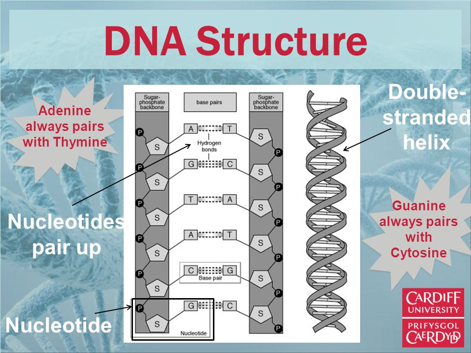 Double- stranded helix Nucleotides pair up Adenine always pairs with Thymine Guanine always pairs with Cytosine Nucleotide DNA Structure