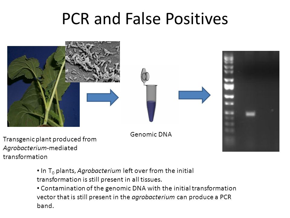 PCR and False Positives Genomic DNA Transgenic plant produced from Agrobacterium-mediated transformation In T 0 plants, Agrobacterium left over from t
