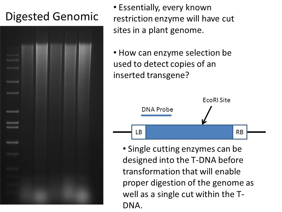 Digested Genomic Essentially, every known restriction enzyme will have cut sites in a plant genome. How can enzyme selection be used to detect copies
