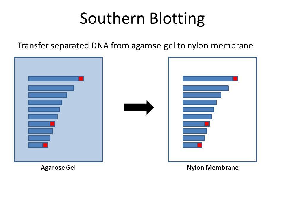 Southern Blotting Transfer separated DNA from agarose gel to nylon membrane Agarose GelNylon Membrane