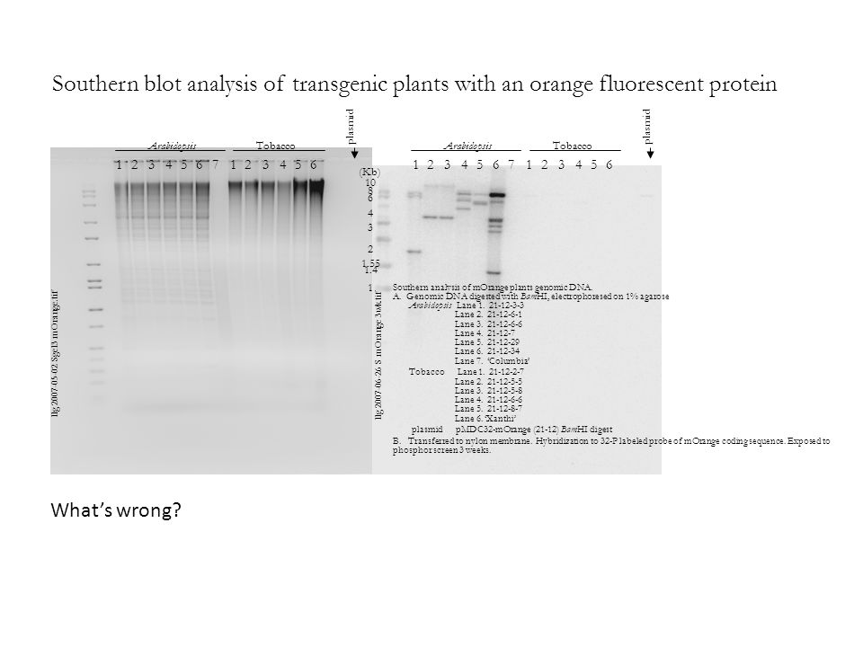 Southern blot analysis of transgenic plants with an orange fluorescent protein Southern analysis of mOrange plants genomic DNA. A. Genomic DNA digeste