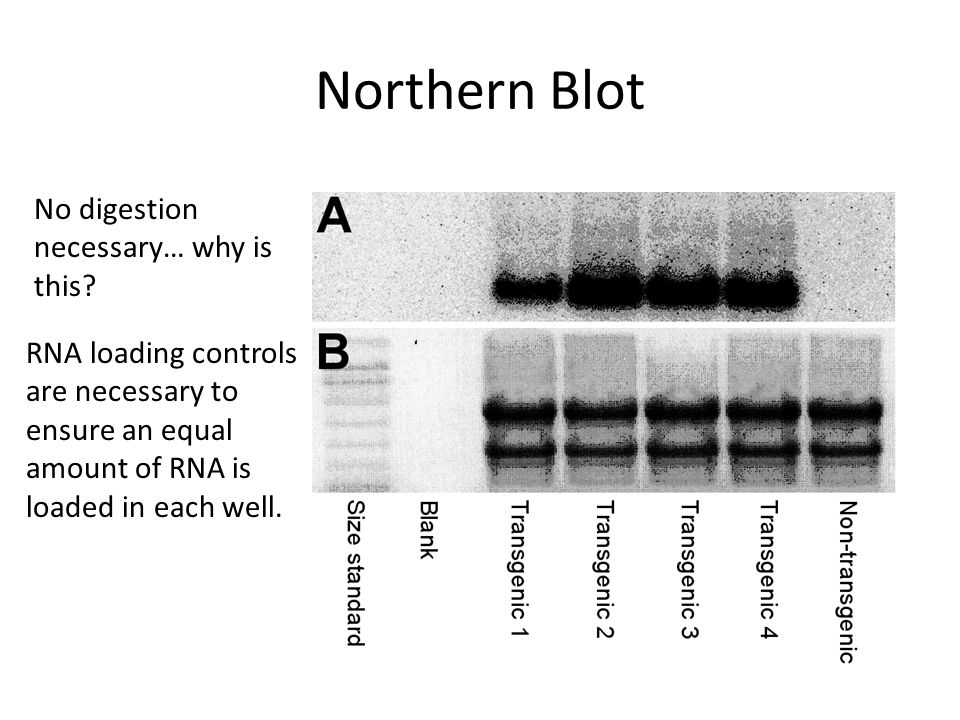 Northern Blot RNA loading controls are necessary to ensure an equal amount of RNA is loaded in each well. No digestion necessary… why is this?