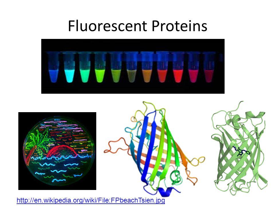 Fluorescent Proteins http://en.wikipedia.org/wiki/File:FPbeachTsien.jpg